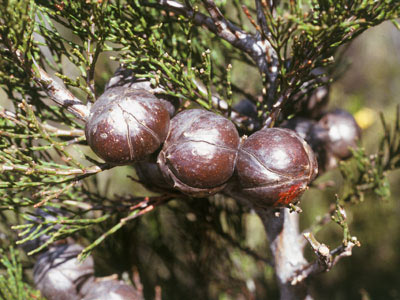 Gymnosperms (Conifers, cycads and allies) — The Plant List