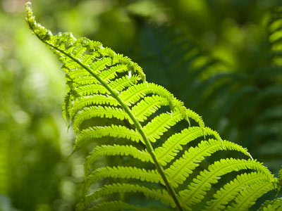 pteridophytes ferns and fern allies the plant list