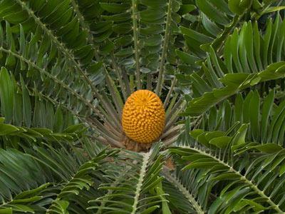 Encephalartos woodii Sander
