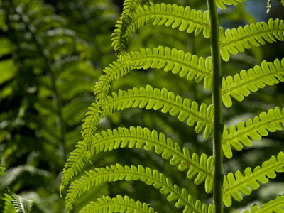 Pteridophytes (Ferns and fern allies) — The Plant List